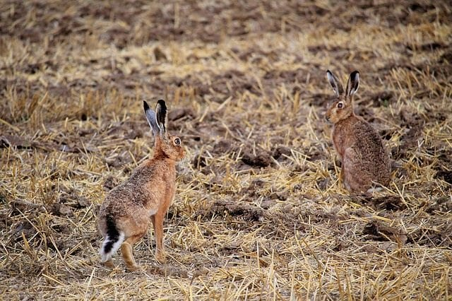rabbit - tavşan