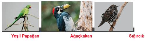 Yeşil Papağan                           Ağaçkakan                                Sığırcık